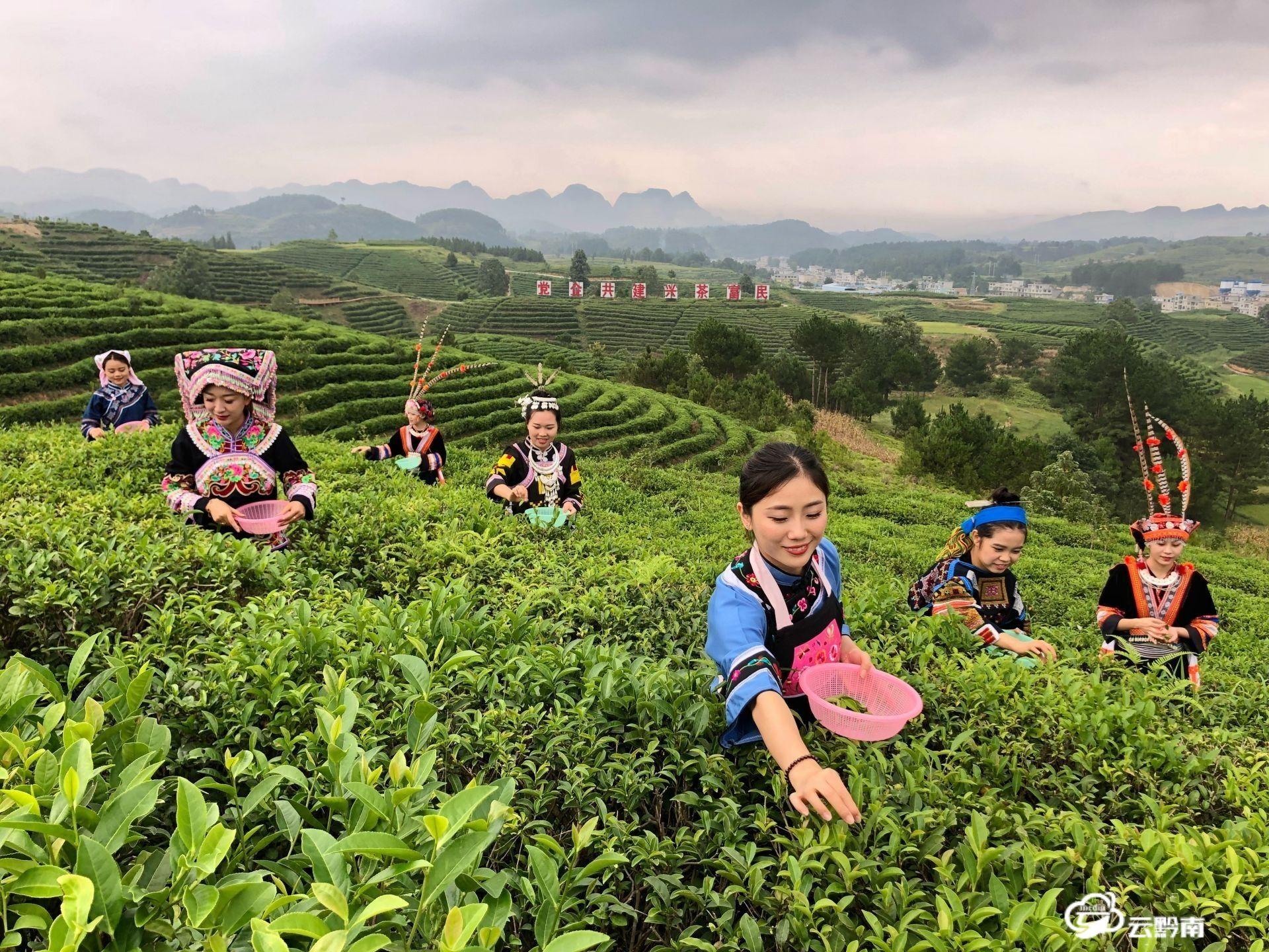 平塘采摘春茶